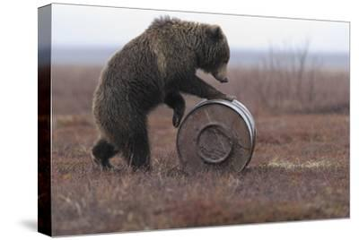 Young Female Kamchatka Brown Bear (Ursus Arctos Beringianus) Playing with Oil Drum-Igor Shpilenok-Stretched Canvas Print
