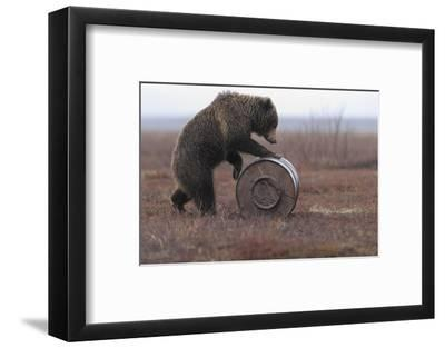 Young Female Kamchatka Brown Bear (Ursus Arctos Beringianus) Playing with Oil Drum-Igor Shpilenok-Framed Photographic Print