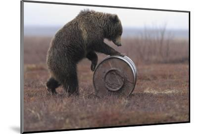 Young Female Kamchatka Brown Bear (Ursus Arctos Beringianus) Playing with Oil Drum-Igor Shpilenok-Mounted Photographic Print