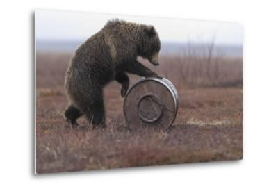 Young Female Kamchatka Brown Bear (Ursus Arctos Beringianus) Playing with Oil Drum-Igor Shpilenok-Metal Print