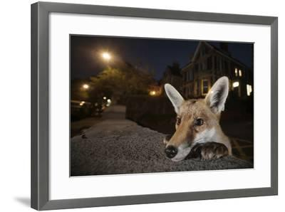 Young Urban Red Fox (Vulpes Vulpes) Poking its Head Up over a Wall. Bristol, UK, August-Sam Hobson-Framed Photographic Print