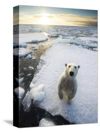 Polar Bear (Ursus Maritimus) Standing on Ice Floe, Looking at Camera. Svalbard, Norway. August-Ole Jorgen Liodden-Stretched Canvas Print