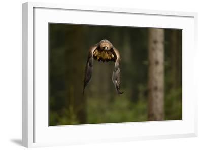 Golden Eagle (Aquila Chrysaetos) Flying Through Forest, Czech Republic, November. Captive-Ben Hall-Framed Photographic Print