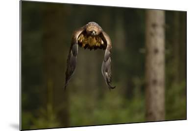 Golden Eagle (Aquila Chrysaetos) Flying Through Forest, Czech Republic, November. Captive-Ben Hall-Mounted Photographic Print