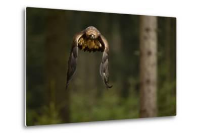 Golden Eagle (Aquila Chrysaetos) Flying Through Forest, Czech Republic, November. Captive-Ben Hall-Metal Print