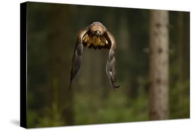 Golden Eagle (Aquila Chrysaetos) Flying Through Forest, Czech Republic, November. Captive-Ben Hall-Stretched Canvas Print