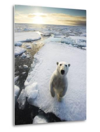 Polar Bear (Ursus Maritimus) Standing on Ice Floe, Looking at Camera. Svalbard, Norway. August-Ole Jorgen Liodden-Metal Print