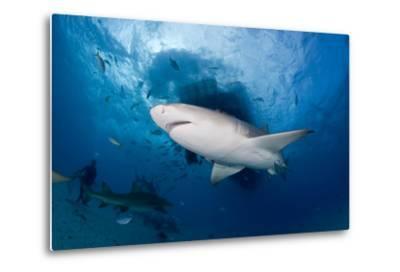 Lemon Shark (Negaprion Brevirostris) Northern Bahamas, Caribbean Sea, Atlantic Ocean-Franco Banfi-Metal Print