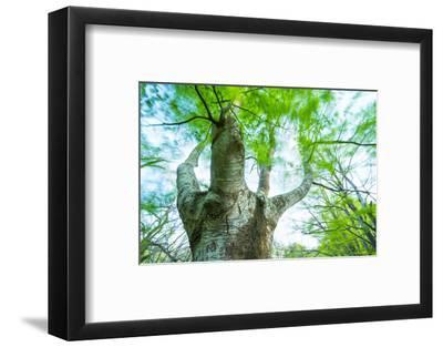 Pollarded European - Common Beech Tree (Fagus Sylvatica) in Beech Forest-Juan Carlos Munoz-Framed Photographic Print