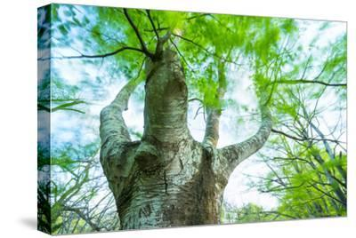 Pollarded European - Common Beech Tree (Fagus Sylvatica) in Beech Forest-Juan Carlos Munoz-Stretched Canvas Print