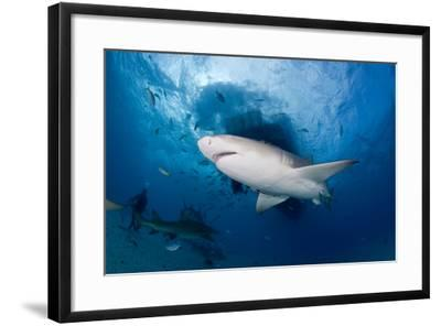 Lemon Shark (Negaprion Brevirostris) Northern Bahamas, Caribbean Sea, Atlantic Ocean-Franco Banfi-Framed Photographic Print