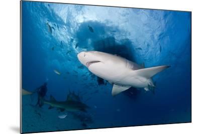 Lemon Shark (Negaprion Brevirostris) Northern Bahamas, Caribbean Sea, Atlantic Ocean-Franco Banfi-Mounted Photographic Print