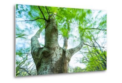 Pollarded European - Common Beech Tree (Fagus Sylvatica) in Beech Forest-Juan Carlos Munoz-Metal Print