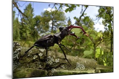 Stag Beetle (Lucanus Cervus) Male on Oak Tree. Elbe, Germany, June-Solvin Zankl-Mounted Photographic Print