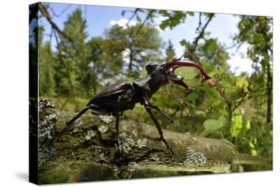 Stag Beetle (Lucanus Cervus) Male on Oak Tree. Elbe, Germany, June-Solvin Zankl-Stretched Canvas Print