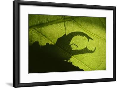 Stag Beetle (Lucanus Cervus) Silhouetted Against Oak Tree Leaf. Elbe, Germany, June-Solvin Zankl-Framed Photographic Print
