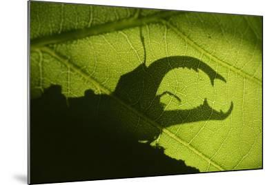 Stag Beetle (Lucanus Cervus) Silhouetted Against Oak Tree Leaf. Elbe, Germany, June-Solvin Zankl-Mounted Photographic Print