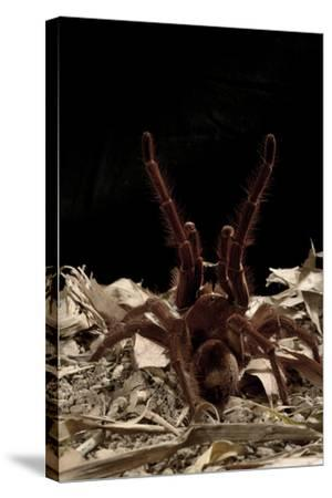 Goliath Bird-Eating Spider (Theraphosa Leblondii - Blondi) Aggressive Display-Daniel Heuclin-Stretched Canvas Print