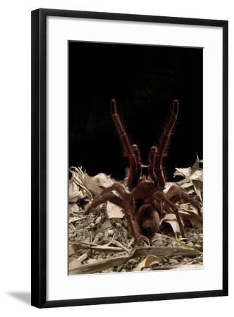 Goliath Bird-Eating Spider (Theraphosa Leblondii - Blondi) Aggressive Display-Daniel Heuclin-Framed Photographic Print