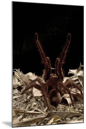 Goliath Bird-Eating Spider (Theraphosa Leblondii - Blondi) Aggressive Display-Daniel Heuclin-Mounted Photographic Print