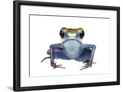 Strawberry Poison Frog (Oophaga Pumilio) Escudo De Veraguas, Panama. Meetyourneighbours. Net Projec-Jp Lawrence-Framed Photographic Print