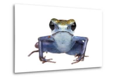Strawberry Poison Frog (Oophaga Pumilio) Escudo De Veraguas, Panama. Meetyourneighbours. Net Projec-Jp Lawrence-Metal Print