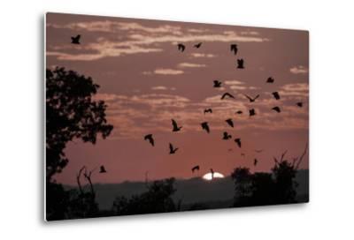 Straw-Coloured Fruit Bats (Eidolon Helvum) Returning to Daytime Roost at Sunrise-Nick Garbutt-Metal Print