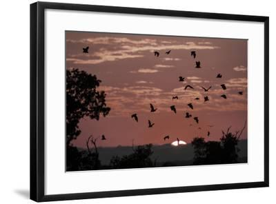 Straw-Coloured Fruit Bats (Eidolon Helvum) Returning to Daytime Roost at Sunrise-Nick Garbutt-Framed Photographic Print