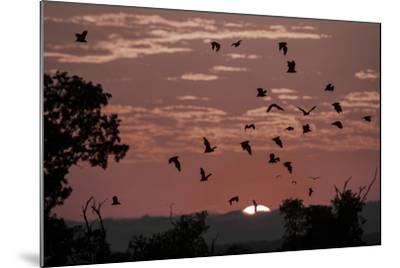 Straw-Coloured Fruit Bats (Eidolon Helvum) Returning to Daytime Roost at Sunrise-Nick Garbutt-Mounted Photographic Print