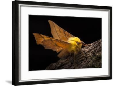 Canary-Shouldered Thorn Moth (Ennomos Alniaria). Peak District National Park, Derbyshire, UK-Alex Hyde-Framed Photographic Print