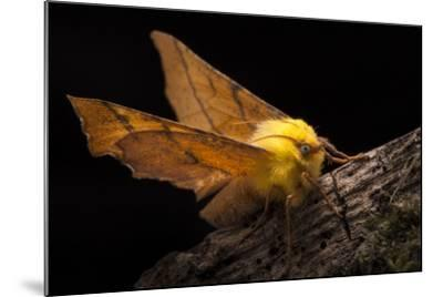 Canary-Shouldered Thorn Moth (Ennomos Alniaria). Peak District National Park, Derbyshire, UK-Alex Hyde-Mounted Photographic Print