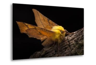 Canary-Shouldered Thorn Moth (Ennomos Alniaria). Peak District National Park, Derbyshire, UK-Alex Hyde-Metal Print