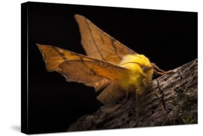 Canary-Shouldered Thorn Moth (Ennomos Alniaria). Peak District National Park, Derbyshire, UK-Alex Hyde-Stretched Canvas Print