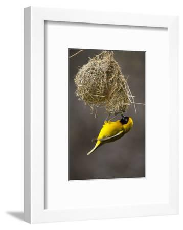 Lesser Masked Weaver (Ploceus Intermedius) Male at Nest Entrance-Neil Aldridge-Framed Photographic Print