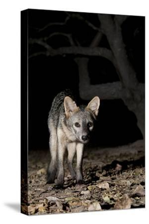 Crab-Eating Fox (Cerdocyon Thous) Foraging at Night, Mato Grosso, Pantanal, Brazil. July-Ben Cranke-Stretched Canvas Print