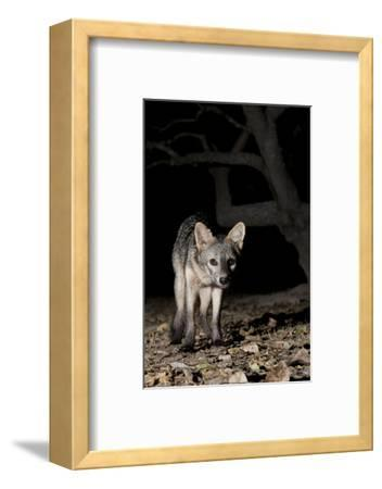 Crab-Eating Fox (Cerdocyon Thous) Foraging at Night, Mato Grosso, Pantanal, Brazil. July-Ben Cranke-Framed Photographic Print
