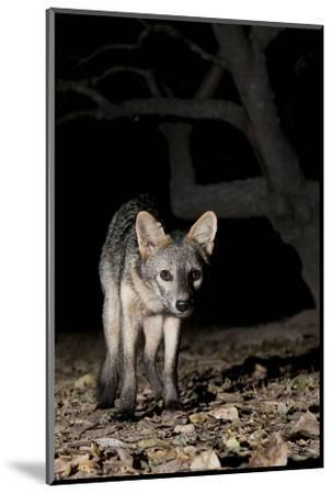 Crab-Eating Fox (Cerdocyon Thous) Foraging at Night, Mato Grosso, Pantanal, Brazil. July-Ben Cranke-Mounted Photographic Print