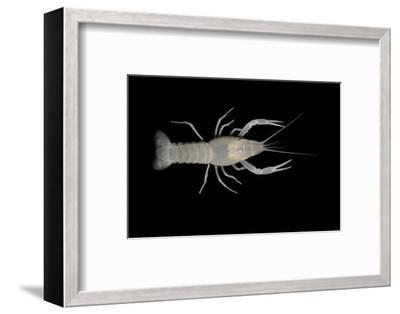 Coastal Lowland Cave Crayfish (Procambarus Leitheuseri) Crystal Springs Beach, Florida, USA-Barry Mansell-Framed Photographic Print