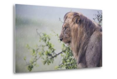 Lion (Panthera Leo) in Heavy Rain, Okavango Delta, Botswana-Wim van den Heever-Metal Print