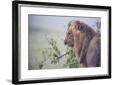 Lion (Panthera Leo) in Heavy Rain, Okavango Delta, Botswana-Wim van den Heever-Framed Photographic Print