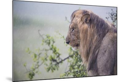 Lion (Panthera Leo) in Heavy Rain, Okavango Delta, Botswana-Wim van den Heever-Mounted Photographic Print