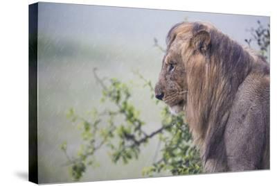 Lion (Panthera Leo) in Heavy Rain, Okavango Delta, Botswana-Wim van den Heever-Stretched Canvas Print