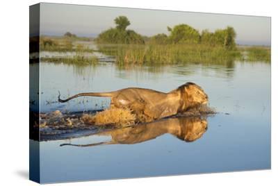 Lion (Panthera Leo) Crossing Water, Okavango Delta, Botswana-Wim van den Heever-Stretched Canvas Print
