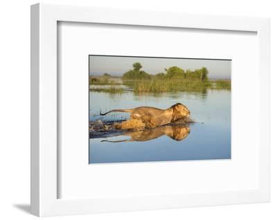 Lion (Panthera Leo) Crossing Water, Okavango Delta, Botswana-Wim van den Heever-Framed Photographic Print