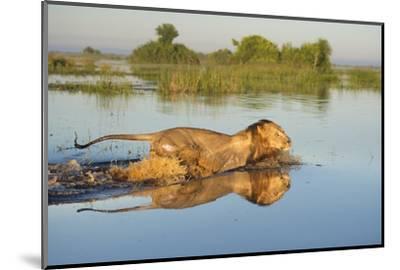Lion (Panthera Leo) Crossing Water, Okavango Delta, Botswana-Wim van den Heever-Mounted Photographic Print