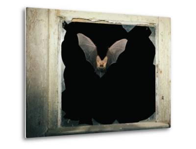 Long Eared Bat--Metal Print
