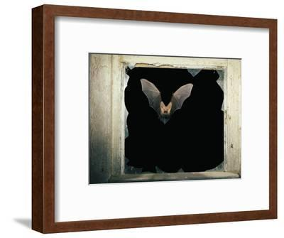 Long Eared Bat--Framed Photographic Print