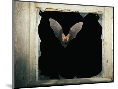 Long Eared Bat--Mounted Photographic Print