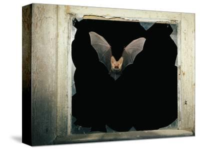 Long Eared Bat--Stretched Canvas Print