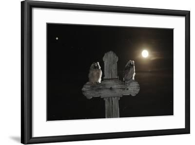 Long Eared Owl (Asio Otus) Chicks Perched on a Cross-Bence Mate-Framed Photographic Print